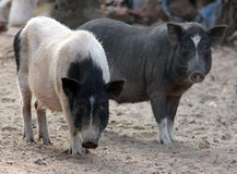 Black and white indian pigs in the yard, Goa Royalty Free Stock Photo