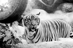Black and white INDOCHINESE TIGER Panthera tigris corbetti. In the zoo at Thailand stock images