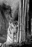 Black and white INDOCHINESE TIGER Panthera tigris corbetti. In the zoo at Thailand stock photography