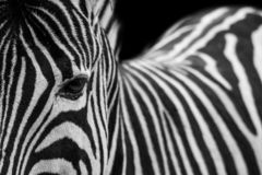 Black On White or White On Black?. Interesting composition of the beautiful zebra using the rule of thirds and depth of field royalty free stock photos