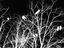 Black and white inverted gothic horror image of crows on a tree. In silhouette with twisting branches Royalty Free Stock Images