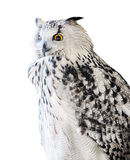 Black and white isolated big eagle-owl royalty free stock photo