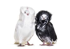 Black and white Jacobin pigeons against white background. Isolated on white Stock Images