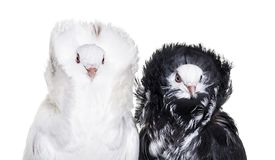 Black and white Jacobin pigeons against white background stock image