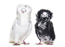 Black and white Jacobin pigeons in portrait against white background royalty free stock photography