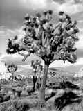 Black and white Joshua Tree. Unique lighting conditions at Joshua Tree Stock Images