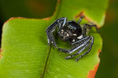 Black and white jumping spider Stock Photo