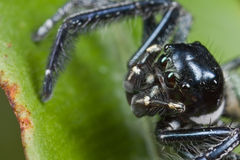 Black and white jumping spider Royalty Free Stock Photography