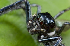 Black and white jumping spider Stock Photography