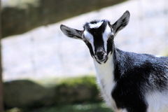 Black & White Kid Goat. Close up of a Cute Black & White Kid Goat Royalty Free Stock Image