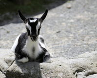 Black & White Kid Goat Royalty Free Stock Photos