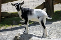 Black & White Kid Goat. Standing on a rock Stock Photo