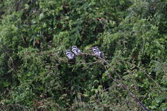 Black and white kingfishers on a branch. Black and white kingfishers resting on a branch. Picture taken in Uganda, Lake Mburo National park, during boat trip on royalty free stock photography