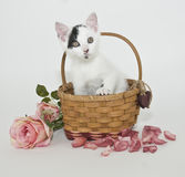 Black and White Kitten. Very cute black and white kitten in a basket with pink roses on a white background Royalty Free Stock Photo