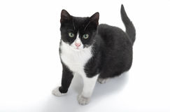 Black and white kitten. Seated cute black and white kitten looking at the camera Stock Images