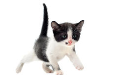 Black and white kitten. Young black and white kitten in front of white background Stock Image
