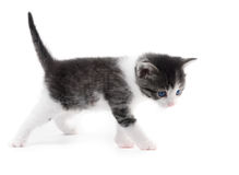 Black white kitten. Black and white kitten  on white background Stock Images