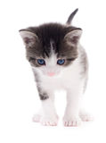 Black white kitten. Black and white kitten  on white background Stock Photography