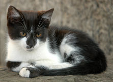 Black and white kitten. A black and white kitten resting on a stone Stock Photography