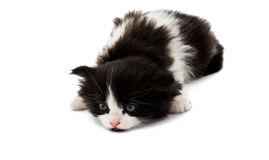Black and white kitten. On a white background Stock Image