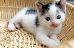 Black and white kitten in a basket Stock Images