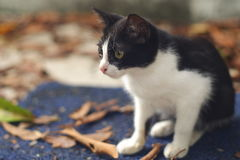 Black and White Kitten. With beautiful bokeh Royalty Free Stock Images