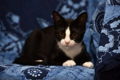 Black with a white kitten. On a blue background Royalty Free Stock Photography