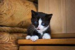 Black and white kitten. With blue eyes on a wooden shelf Royalty Free Stock Photos