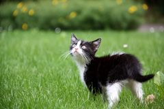Black and white kitten Royalty Free Stock Photos