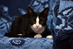 Black with a white kitten. On a blue background Royalty Free Stock Image