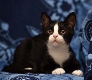 Black with a white kitten. On a blue background Stock Images