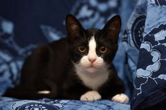 Black with a white kitten. On a blue background Stock Photos