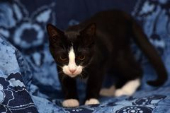 Black with a white kitten. On a blue background Royalty Free Stock Images