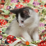 Black and white kitten Royalty Free Stock Photography