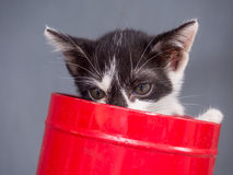Black and white kitten in bucket with gray background Royalty Free Stock Photos