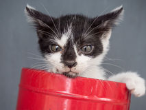 Black and white kitten in bucket with gray background Royalty Free Stock Images