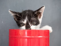 Black and white kitten in bucket with gray background Royalty Free Stock Image