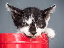 Black and white kitten in bucket with gray background Stock Images