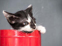 Black and white kitten in bucket with gray background Royalty Free Stock Photography
