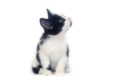 Black and white kitten, cat. Black and white kitten on a white background, isolated black and white cat royalty free stock images
