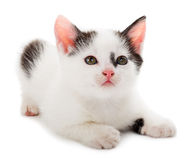 Black white kitten Royalty Free Stock Photo