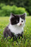 Black and white kitten Stock Photo