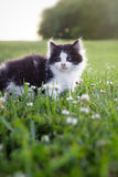 Black and white kitten. A close up of a black and white kitten standing in grass Royalty Free Stock Photography