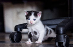 Black and white kitten. Crawling under chair while exploring Royalty Free Stock Photo