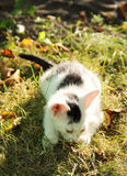 Black and white kitten. Cute black and white kitten with pink ears lying in the grass in autumn Royalty Free Stock Photo