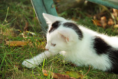 Black and white kitten. Cute black and white kitten with pink ears lying in the grass in autumn Stock Photography