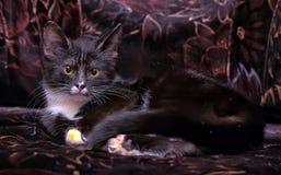 Black and white kitten Royalty Free Stock Photo