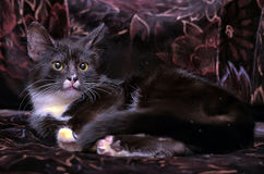 Black and white kitten. On a dark background Royalty Free Stock Photo