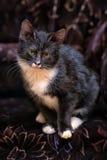 Black and white kitten. On a dark background Stock Photos