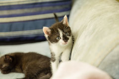 Black and white kitten exploring. On couch Royalty Free Stock Photos
